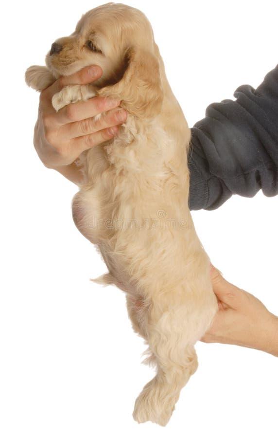 Cão com hérnia de cordão umbilical foto de stock