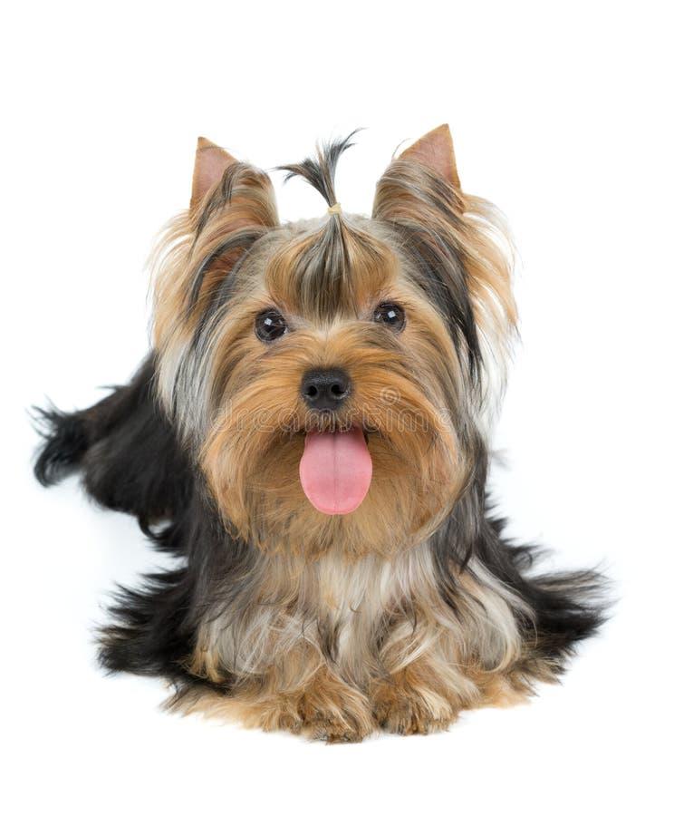 Cão com língua grande imagem de stock