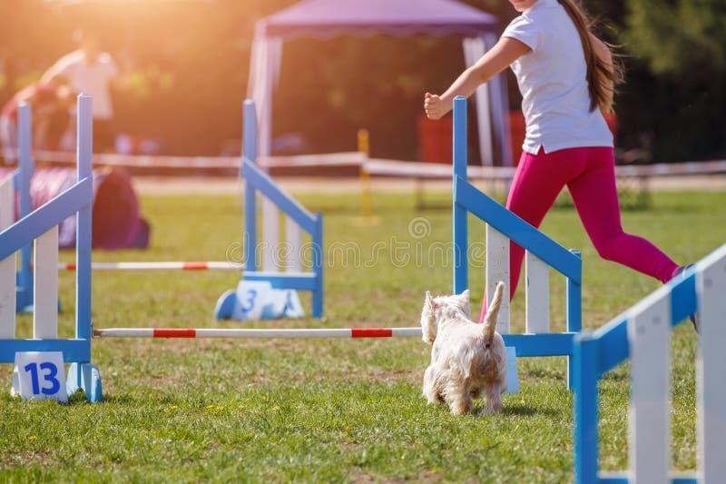 Cão com o alimentador que corre na competição da agilidade fotos de stock