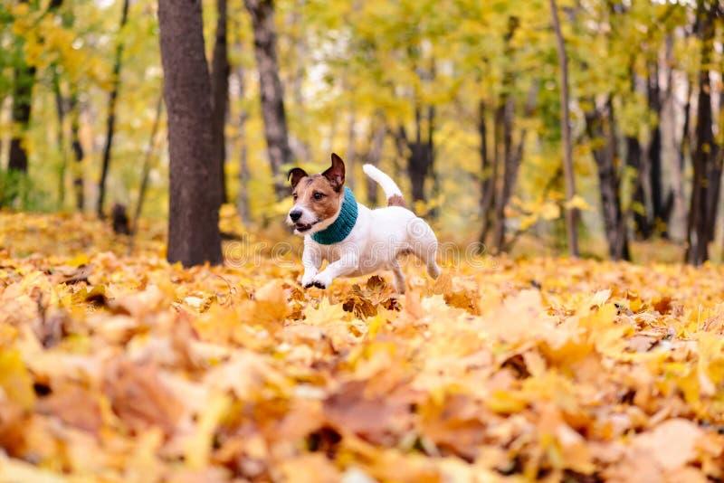Cão com o lenço acolhedor que corre através do montão das folhas de outono coloridas fotografia de stock
