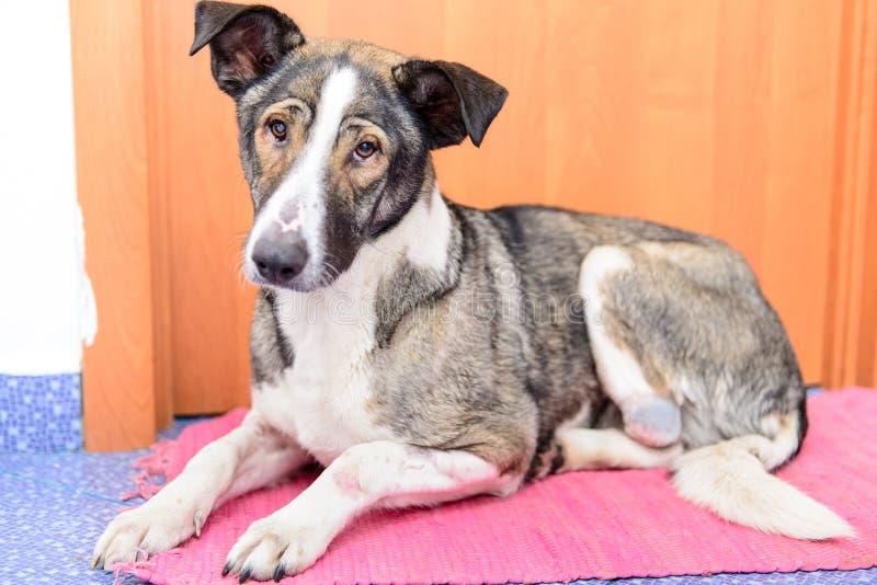 Cão com pata amputada fotografia de stock royalty free