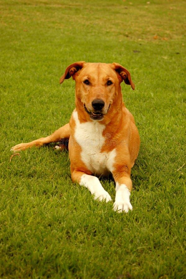 Cão com peúgas brancas foto de stock