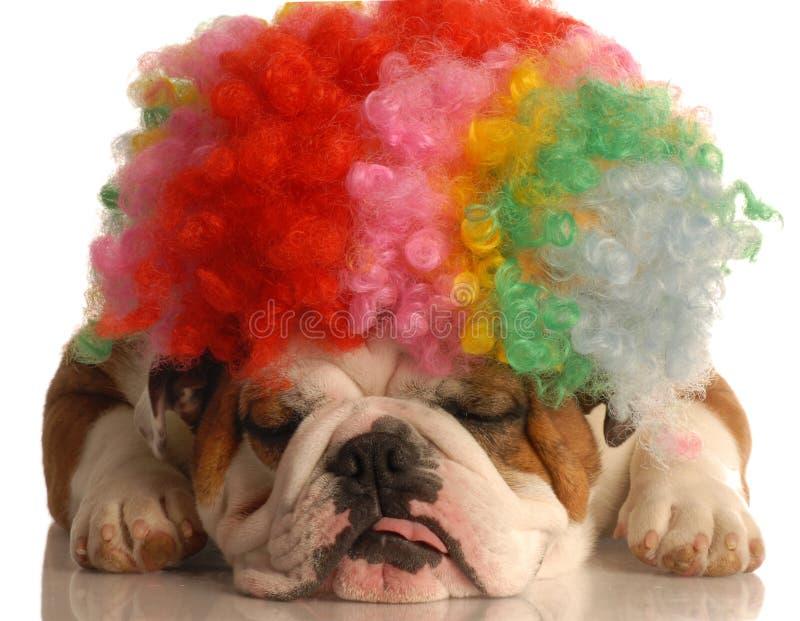 Cão com a peruca parva do palhaço imagem de stock royalty free