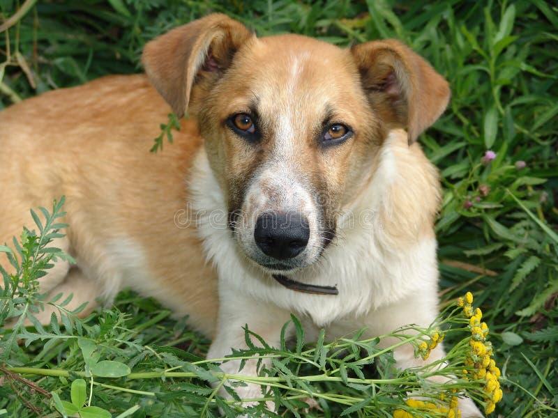 Cão com um colar que encontra-se na grama verde Olhe a câmera fotografia de stock