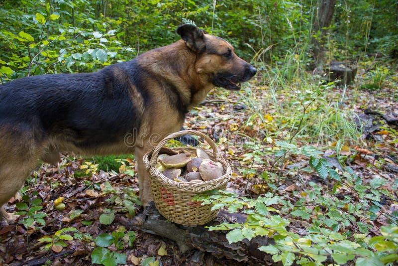Cão com uma cesta dos cogumelos, cão um pastor alemão em uma floresta com uma cesta dos cogumelos fotografia de stock royalty free