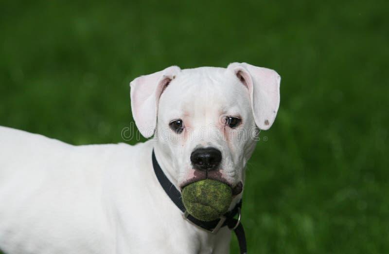 Cão com uma esfera fotos de stock royalty free