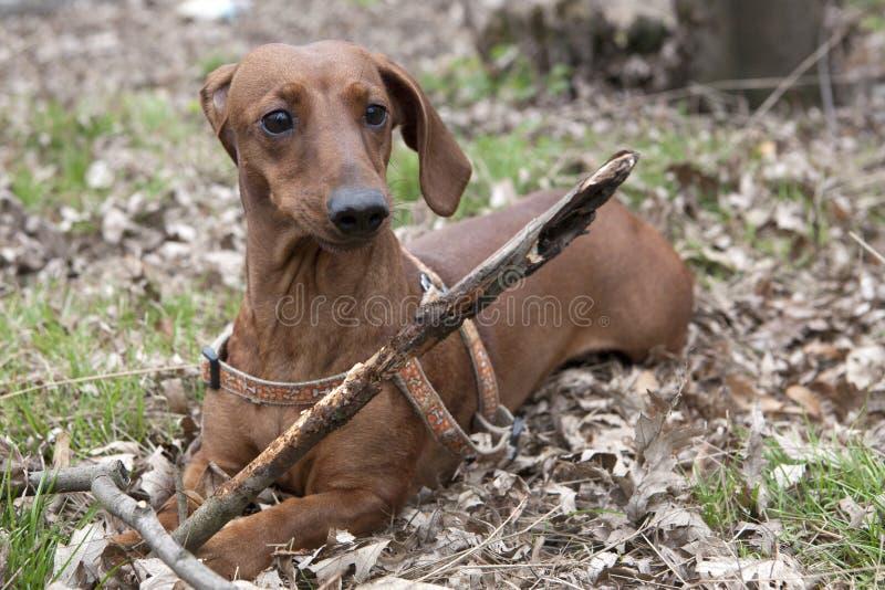 Cão com vara de madeira foto de stock