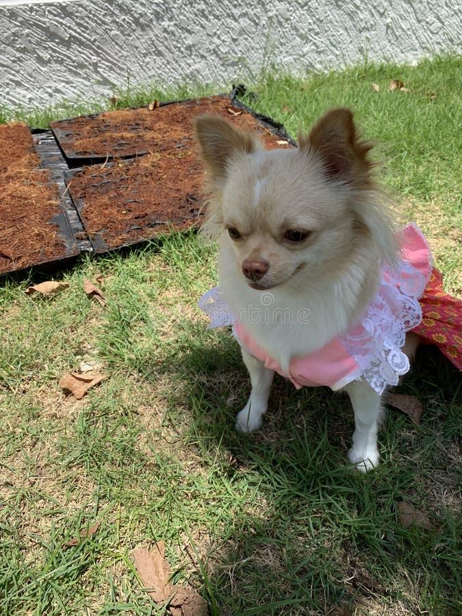 Cão com vestido cor-de-rosa foto de stock