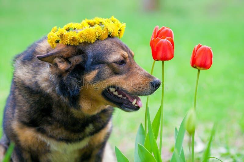 Cão coroado com um chaplet do dente-de-leão imagens de stock