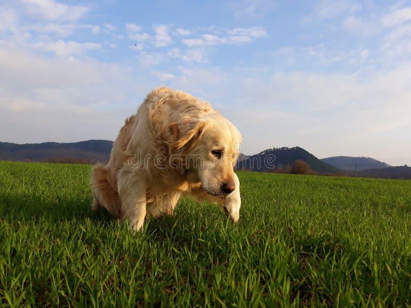 Cão curioso no campo verde foto de stock royalty free