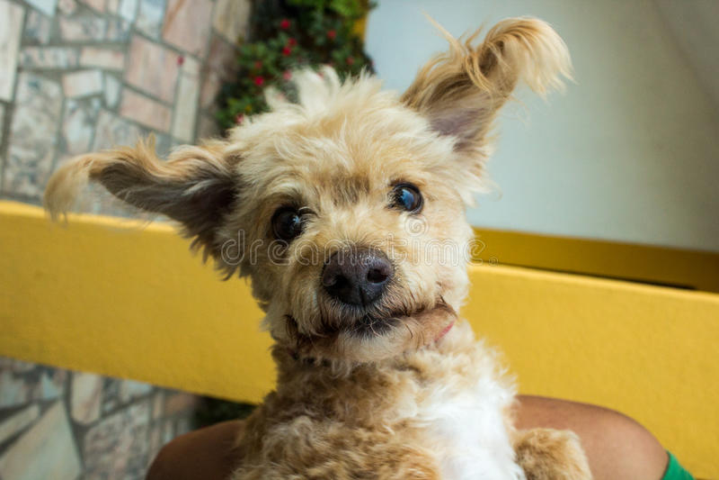 Cão Curly fotografia de stock