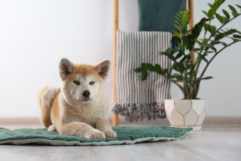 Cão Cute Akita Inu na sala das plantas Espaço para texto fotos de stock