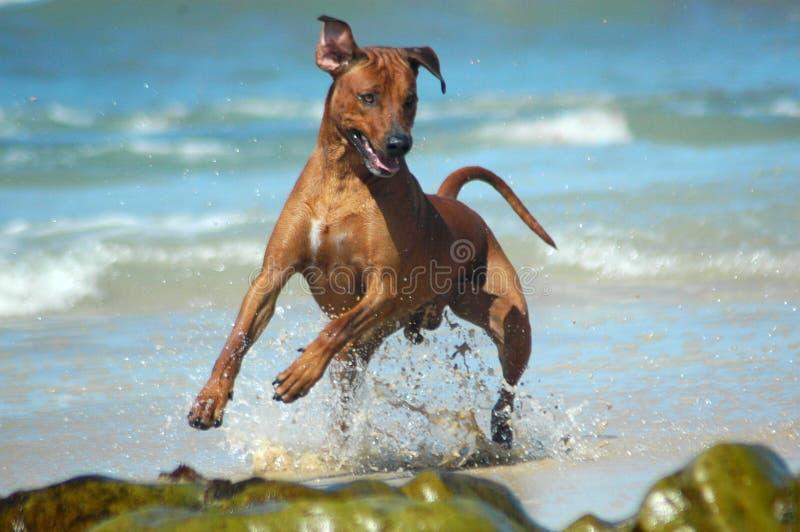 Cão da ação fotos de stock royalty free
