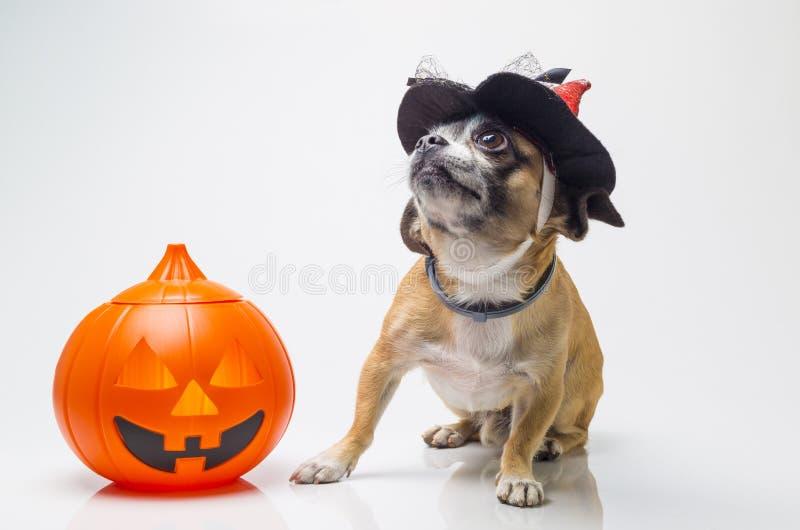 Cão da abóbora de Dia das Bruxas fotografia de stock royalty free