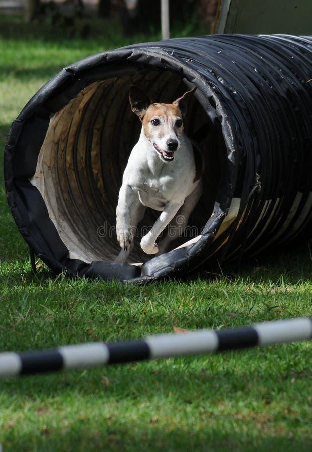 Cão da agilidade imagem de stock