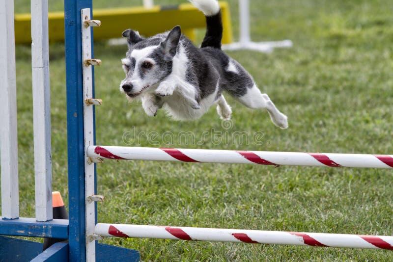 Cão da agilidade que vai sobre um salto fotos de stock