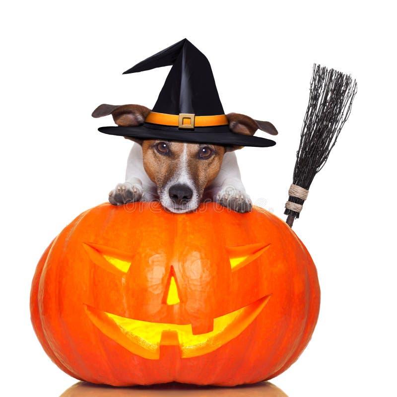 Cão da bruxa da abóbora de Halloween fotografia de stock