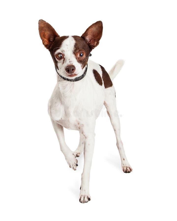 Cão da chihuahua com o um olho cego imagens de stock royalty free