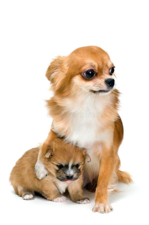 Cão da chihuahua da raça e do seu filhote de cachorro imagens de stock