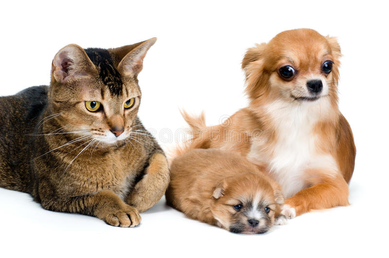 Cão da chihuahua da raça e do seu filhote de cachorro com um gato fotografia de stock royalty free