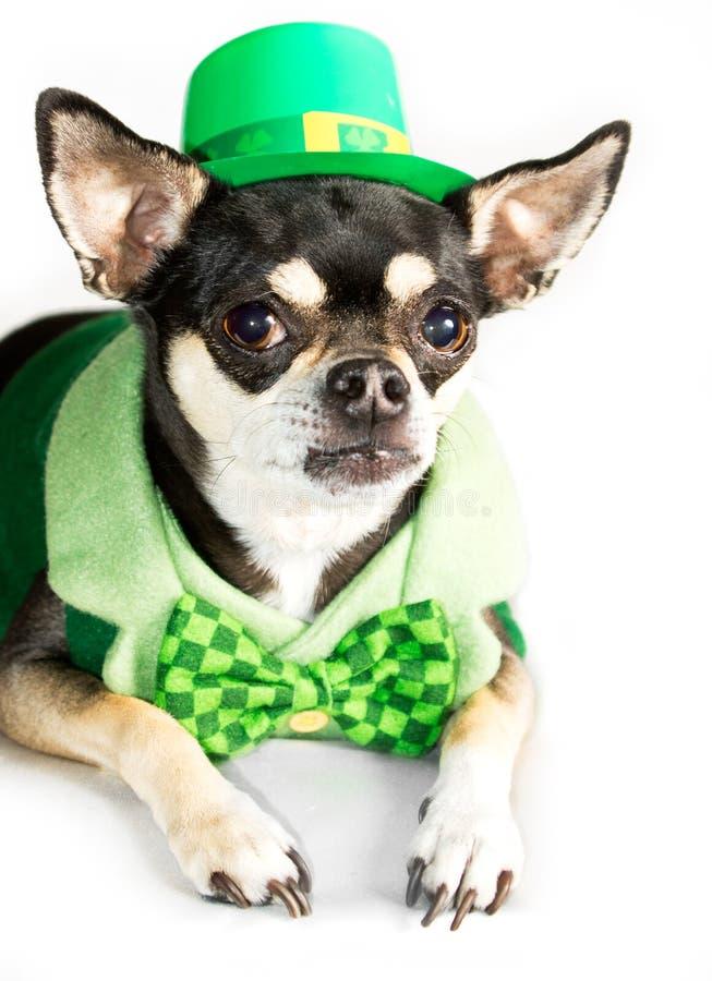 Cão da chihuahua do dia do St. Patrick no branco imagem de stock royalty free