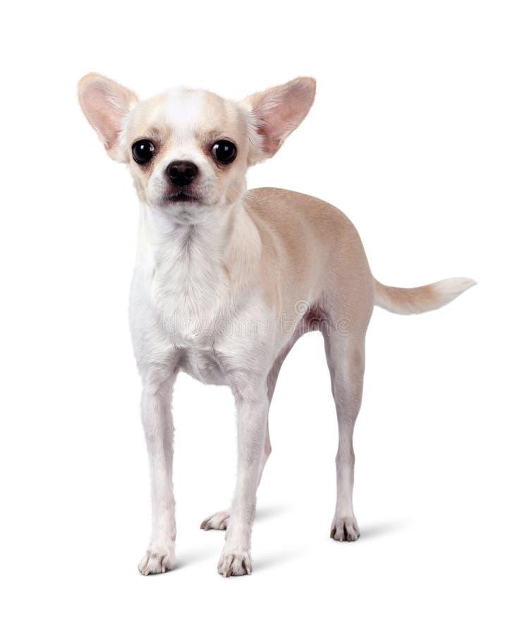 Cão da chihuahua isolado no fundo branco fotos de stock royalty free
