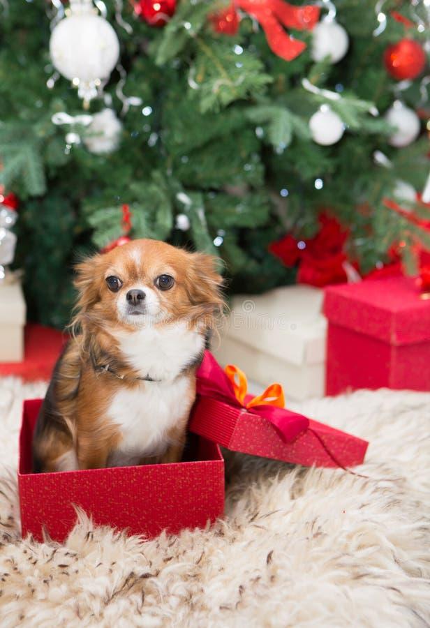 Cão da chihuahua na caixa de presente vermelha imagens de stock