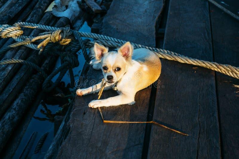 Cão da chihuahua na madeira foto de stock royalty free