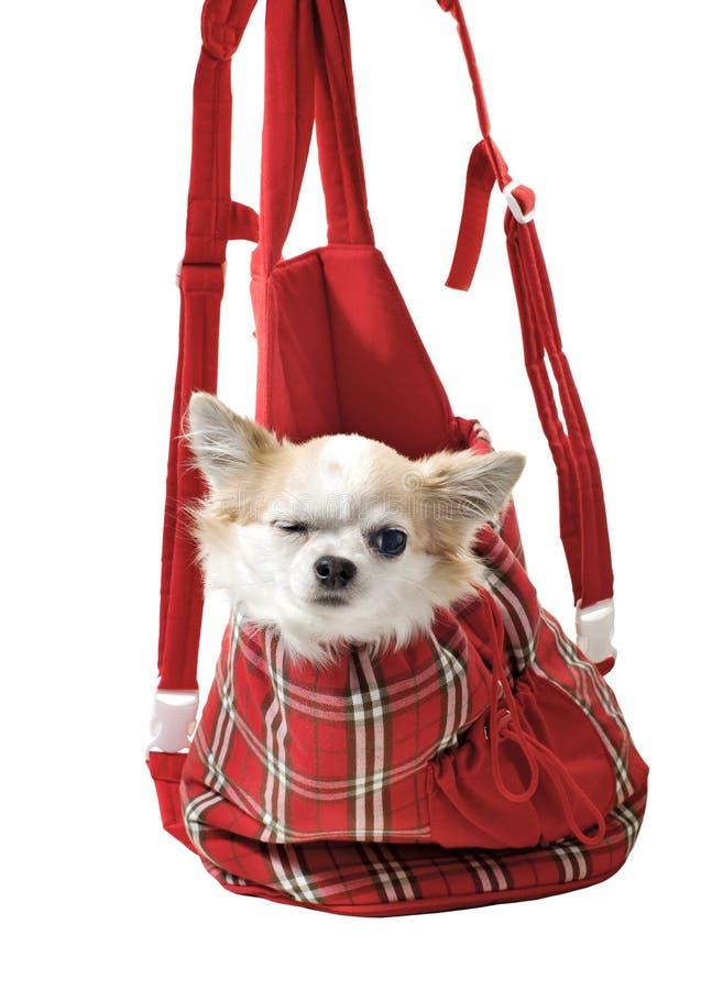 Cão da chihuahua no saco brilhante para o portador do animal de estimação fotos de stock