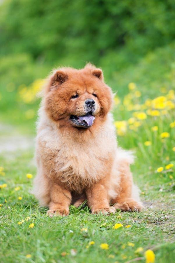 Cão da comida de comida de Brown que senta-se fora fotos de stock royalty free