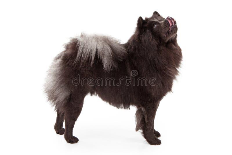 Cão da comida que lambe os bordos fotografia de stock royalty free