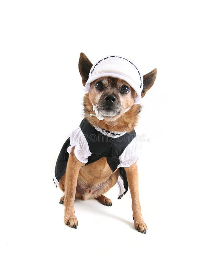 Cão da empregada doméstica fotografia de stock