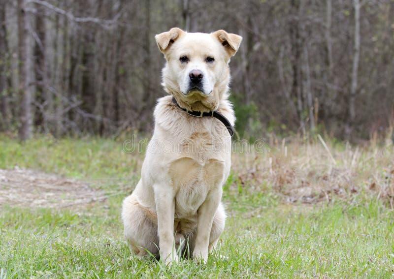 Cão da mistura da comida de grandes Pyrenees do golden retriever fotografia de stock