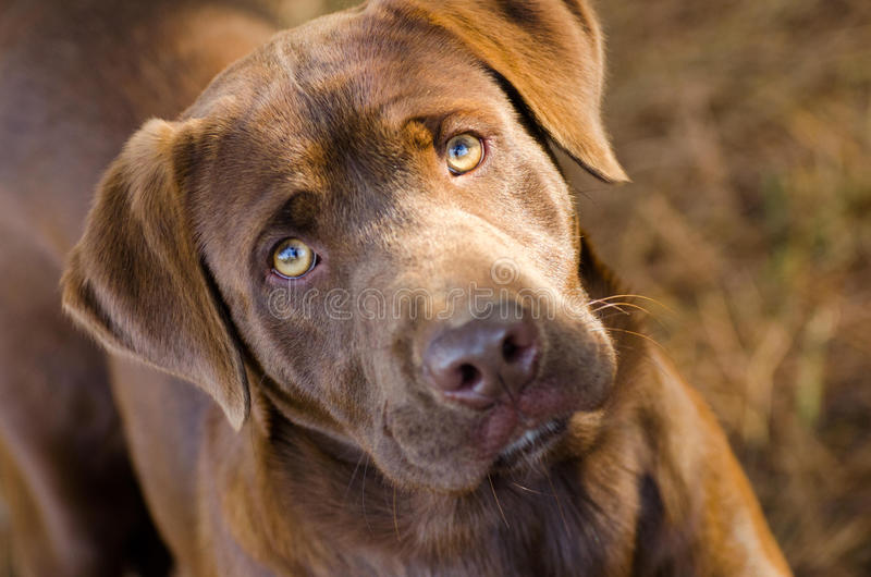 Cão da mistura de labrador retriever do chocolate fotos de stock royalty free