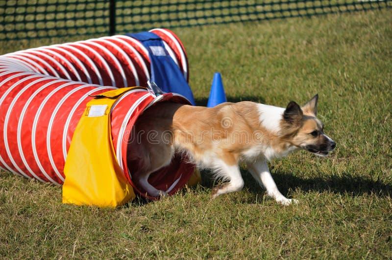 Cão da Misturado-Raça que retira o túnel vermelho da agilidade imagens de stock