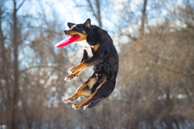 Cão da montanha de Appenzeller do Frisbee com o disco vermelho do voo imagens de stock