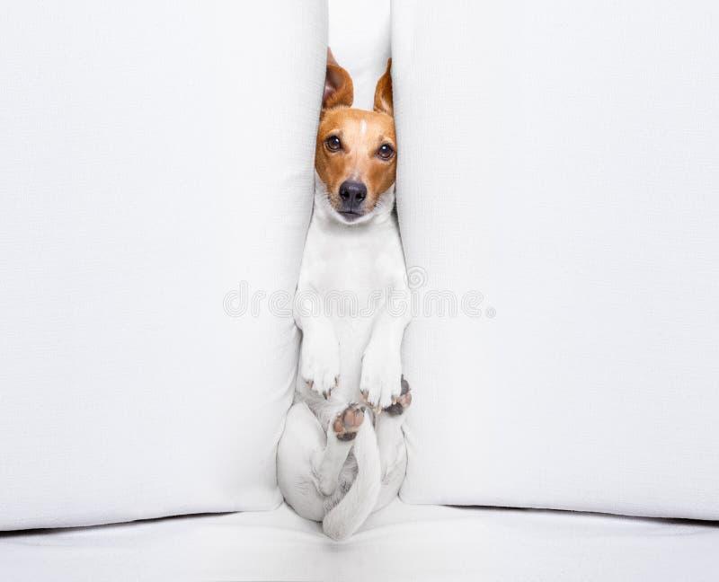 Cão da neutralização sob a pressão fotografia de stock