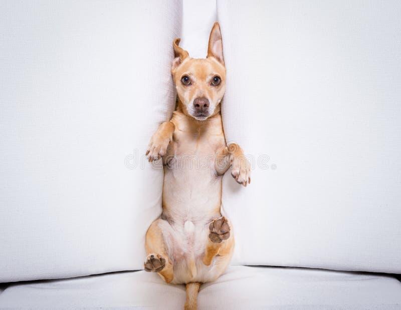 Cão da neutralização sob a pressão foto de stock royalty free