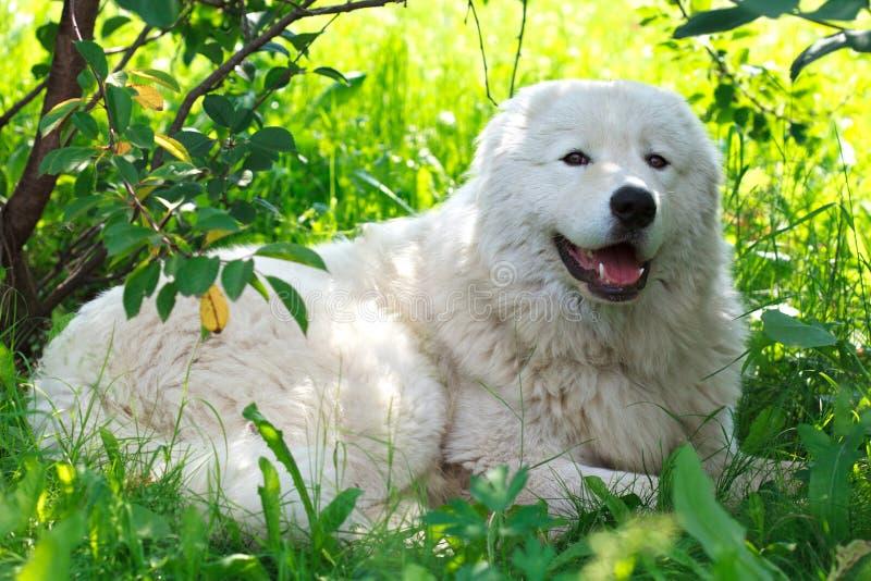 Cão da patrulha de Maremma ou de Abruzzese que descansa sob um arbusto na grama imagem de stock