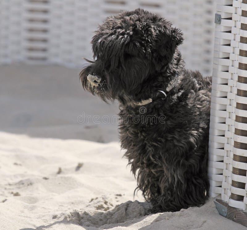 Cão da praia imagem de stock