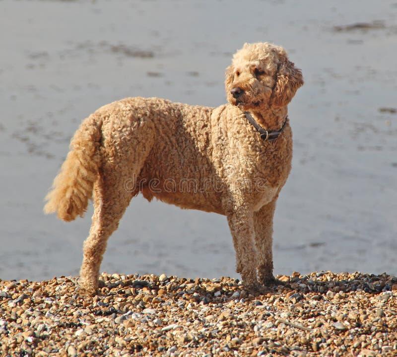 Cão da praia de Labradoodle fotos de stock royalty free