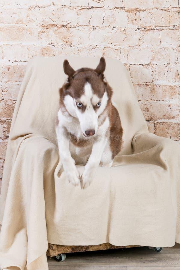 Cão da raça da casca que levanta no estúdio Os princípios de animais de estimação do treinamento imagens de stock