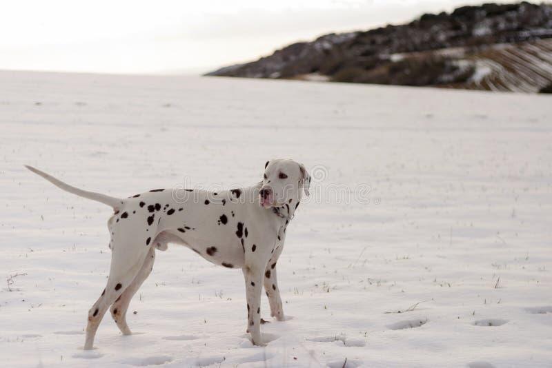 Cão da raça Dalmatian na neve imagens de stock