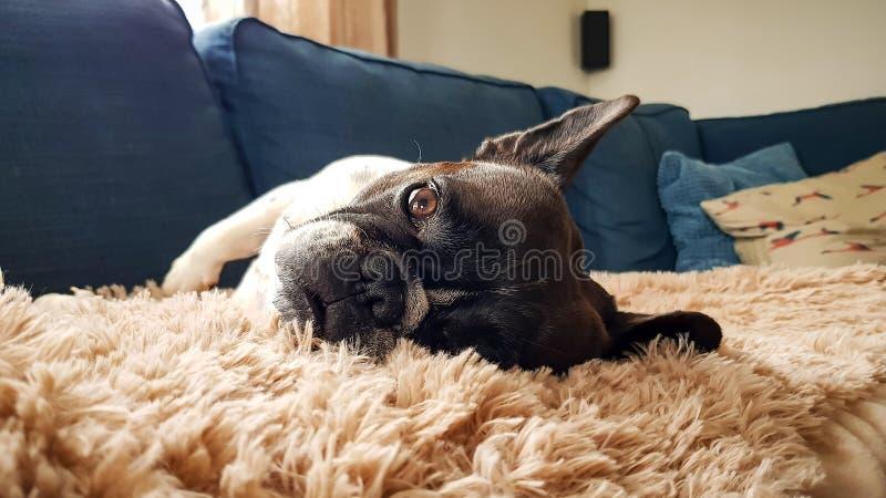Cão da raça do buldogue francês que encontra-se em seu lado na poltrona imagens de stock