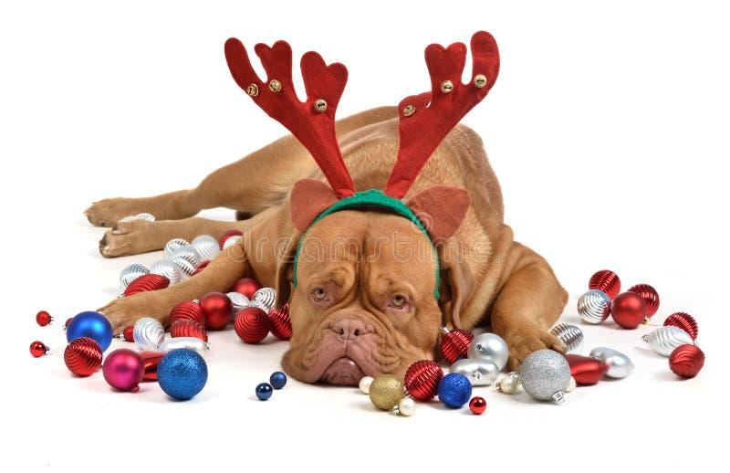 Cão da rena com baubles do Natal fotografia de stock