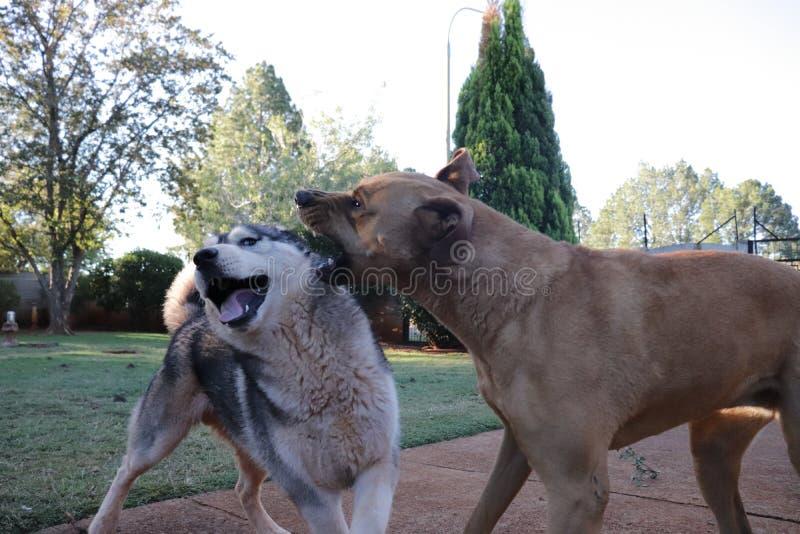 Cão da rosnadura com cão de puxar trenós foto de stock