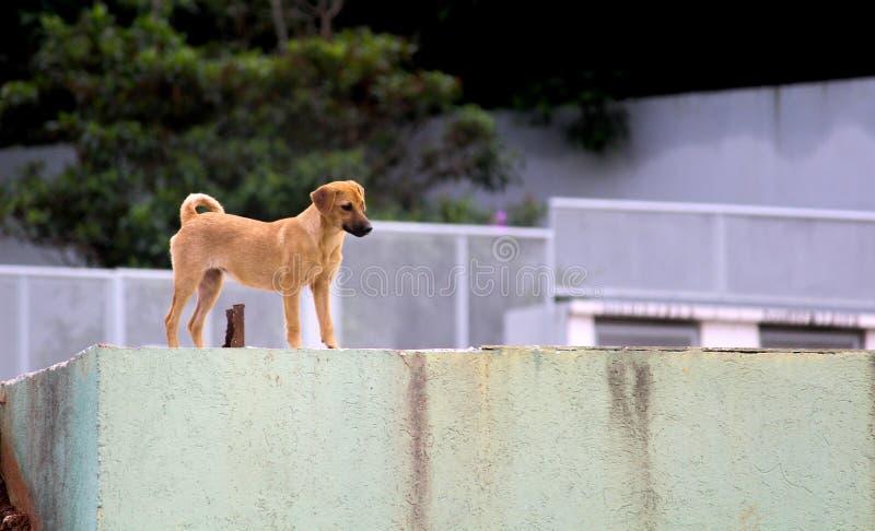Cão da rua de Brown imagem de stock royalty free