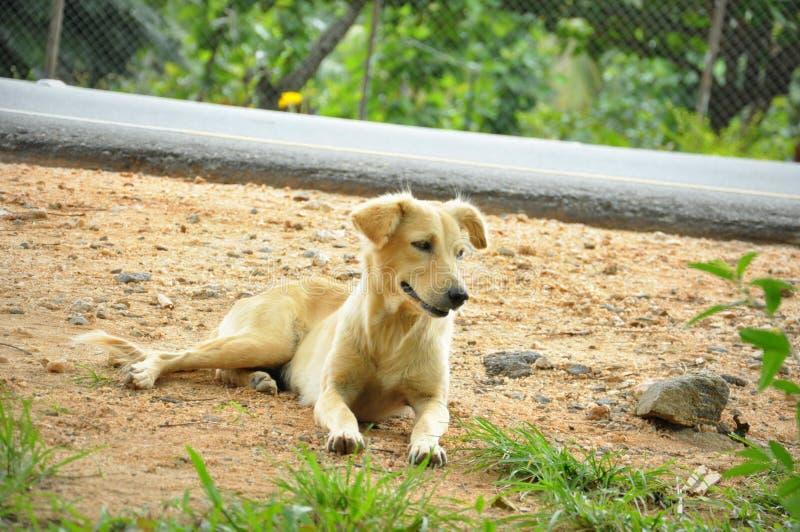 Cão da rua de Brown do asiático fotografia de stock royalty free