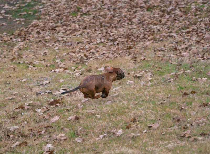 Cão da salsicha/bassê na caça que corre no campo foto de stock royalty free