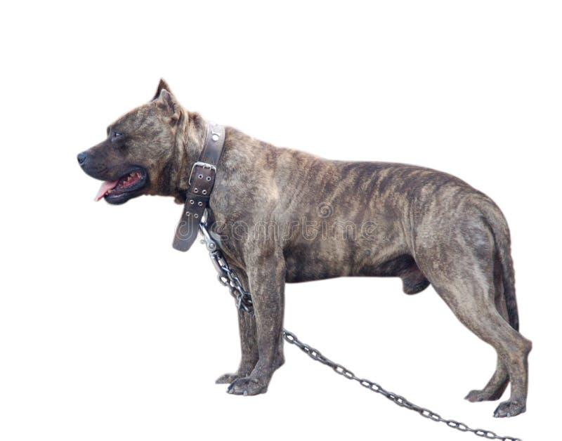 Cão da sentinela fotografia de stock royalty free
